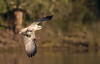 osprey (Pandion haliaetus)-3980 (rawshorty) Tags: rawshorty birds australia nsw portmacquarie