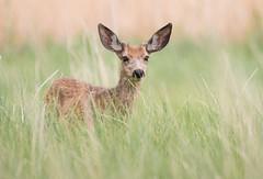 baby deer3-8947 (Jami Bollschweiler Photography) Tags: deer mule wildlife photography image utah buck doe baby