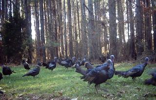Turkeys Everywhere !