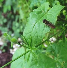 Ropy Richmond 1 (Bricheno) Tags: glasgow park glasgowgreen insect macro hoverfly bricheno scotland escocia schottland écosse scozia escòcia szkocja scoția 蘇格蘭 स्कॉटलैंड σκωτία