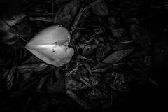Petal (mellting) Tags: eskilstuna nikond500 platser rothfossparken bloggad flickr instagram matsellting mellting nikkor5018 nikon sverige sweden petal rose monochrome blackandwhite bnw