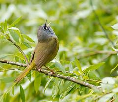 MacGillivray's Warbler (mghornak) Tags: macgillivrayswarbler warbler woodwarbler grandtetonnationalpark oxbowbend june2017 bird wildlife nature canon canoneos7dmarkii