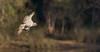 osprey (Pandion haliaetus)-3981 (rawshorty) Tags: rawshorty birds australia nsw portmacquarie