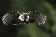 Sooty Grouse (Gregory Lis) Tags: sootygrouse dendragapusfuliginosus gregorylis gorylis nikond810 britishcolumbia nikon