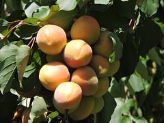 DSCN5137 (keepps) Tags: switzerland suisse schweiz valais martigny apricot fruit fruittree