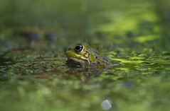 Iberian Water Frog (Chris Bainbridge1) Tags: pelophylax perezi iberian water frog terra nostra gardens furnas san miguel azores