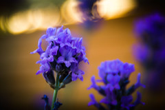 Smells like lavender (gernot.glaeser) Tags: blue blur bokeh colours flowers lavender naturallight nature seasons softlight summer deu 365project project365 o
