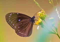Euploea tulliolus koxinga (Changer4Ever) Tags: nikon d7200 nikkor butterfly animal life nature color colorful bokeh dof depthoffield closeup macro outdoor season bright light wild wildlife