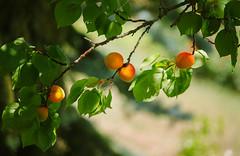 Apricots (Inka56) Tags: 7dwf flora apricot bokeh fruits branch leaves