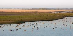Geese (cryothic) Tags: natuur nature ganzen geese oostvaardersplassen