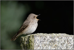 Spotted Flycatcher (image 2 of 2) (Full Moon Images) Tags: wildlife nature bird singing spotted flycatcher tempsford bedfordshire grave gravestone churchyard graveyard