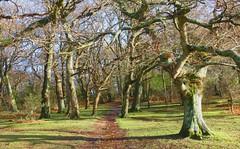 New Forest NP, Hampshire, England (east med wanderer) Tags: forest woodland oak beech holly winter england hampshire newforestnationalpark lyndhurst nationalpark walk walking worldtrekker