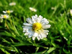 Macro Monday's (stellagrimsdale) Tags: macromondays macro daisy flower drip drop