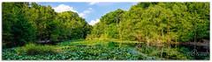 Burnham Beeches (Bizon1) Tags: burnham slough panorama nature pond
