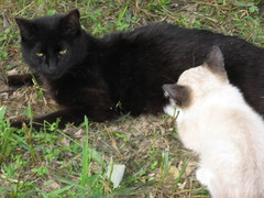 IMG_7574 (Dee Pix) Tags: bumpy farmcats cats kittens blackcats june2017
