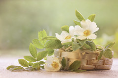 A basket of summer ;o) (Elisafox22 slowly catching up again!) Tags: elisafox22 sony ilca77m2 100mmf28 macro macrolens telemacro simplepleasures rose wildroses white roses 52in2017 week26 free freechoice petals basket leaves green raindrops stilllife tabletop window sunshine texture texturing textures elisaliddell©2017 htt texturaltuesday