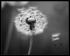 Farewell (Mikko Ritala) Tags: dandelion seeds black white bw plant flower