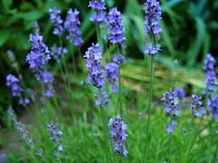 levendula / lavender (debreczeniemoke) Tags: nyár summer kert garden növény plant virág flower levendula lavender lavande lavendel lavanda levănțică lavandulaangustifolia olympusem5