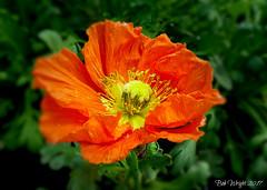 Anemone Delight ( Explored ) (Bob.W) Tags: anemone orange ngc npc