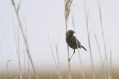 gorgebleue à miroir ( Luscinia svecica ) Erdeven 170621e2 (papé alain) Tags: oiseaux passereaux muscicapidés gorgebleueàmiroir lusciniasvecica bluethroat erdeven morbihan bretagne france