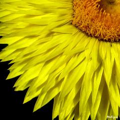 Strawflower - Immortelle (monteregina) Tags: fleurs flowers bloom blumen québec canada immortelle strawflower brilliance lustre everlasting paperdaisy gloss rayflowers vivid vibrant jaune yellow macro closeup monteregina patterns formes shapes détails details xerochrysumbracteatum helichrysumbracteatum everlastingdaisy goldeneverlasting bracts bracteanthabracteata craklytexture paperybracts papery immortelleblume blüte strohblume gelb everlastingflower astéracées asteraceae compositae monjardin mygarden pétales petals