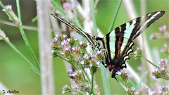 Zebra Swallowtail Butterfly (Suzanham) Tags: butterfly swallowtail protographiummarcellus insect southern mississippi wings wildflowers eurytidesmarcellus stripes tennessee caterpillar bug noxubeewildliferefuge canonpowershotsx60hs nature wildlife