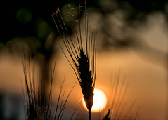 Eine Frage der Ähre (marionrosengarten) Tags: ähre getreide gegenlicht sun sundown sunset sonnenuntergang evening abend moody orange sky field feld stimmung nikon tamron90mmf28divcmacro