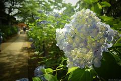 紫陽花 (March Hare1145) Tags: flower 花 植物 plant 日本 japan 紫陽花