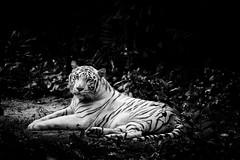 Pasha The White Tiger (kieronjameslong) Tags: tiger whitetiger wildlife bigcat bigcats feline panthera zoo singapore blackandwhite monochrome animal bengal bengaltiger tigristigris pasha bnw