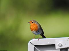 Robin (Corine Bliek) Tags: erithacusrubecula bird birds vogel vogels nature natuur wildlife passerine red rood zangvogel