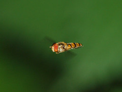 2017_07_0202 (petermit2) Tags: hoverfly sprotbrough doncaster southyorkshire yorkshire