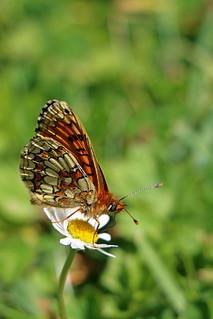 Papillon, Mellicta athalia, le damier athalia