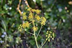 Umbelliferae (esta_ahi) Tags: priorat umbelliferae flor flora flores silvestres yellow apiaceae camídelesmines tarragona spain españa испания