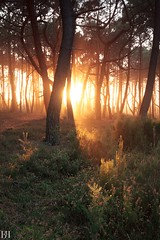 Silmarilli (NeoNature) Tags: canon nature landscape paysage landes biscarrosse biscarrosseplage france sunset coucher soleil pines pins sunray sunbeam rayon mist ambiance atmosphere brume bois wood tree arbre