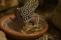 20170701X1827_Leopardgecko_0136 (RascheBilder) Tags: leopardgecko raschebilder