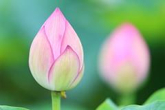 IN or OUT (Teruhide Tomori) Tags: japon japan kyoto nature summer flower lotus 夏 京都 花 ハス 日本 東寺 教王護国寺 toji pond bud