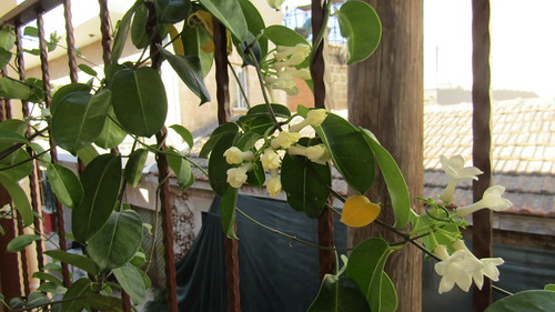 Jasmin flowers, Altun Tabya Hotel, Famagusta