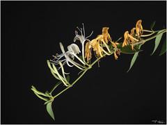 Evoluzione (voste78) Tags: hasselblad stillife fiorereciso boccioli fiore pistilli foglie cf120macro f 32 f32 503cx digitalbackcf22 appassito