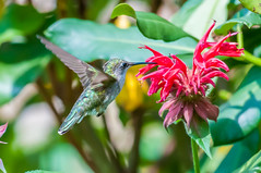 06252017-38-1 (Bill Friggle Photography) Tags: ruby throated hummingbird flower plants feeding hovering flying middlecreek middle creek wildlife management area wma middlecreekwma middlecreekwildlife
