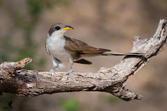 Yellow-billed cuckoo (Osprey-Ian) Tags: texas yellowbilledcuckoo martinrefuge