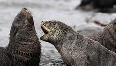 Pup fight (jamesrrobbins) Tags: antarctic fur seal bird island pup