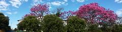 Ipê Rosa // Rose Ipe (Eco.Natu) Tags: flor ipipe rosa rose planta árvore tree nuvem nuvens natureza nature céu sky vida life universo universe beautiful bonito maravilhoso wonderful deus good
