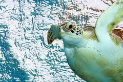 Green Turtle_Between Tori's and Salt Pier_Bonaire_June 2017 3 (R13X) Tags: bonaire underwaterphotography underwatermacrophotography scubadiving diving denlaman dutchcaribbean dutchislands shorediving nikon nikon105mm nikon60mm d7200 greenturtle turtle barireef somethingspecial saltpier torisreef
