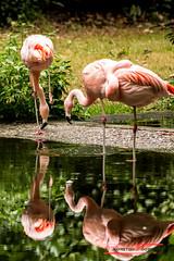 Flamingos in the mirror (Phoenicopterus roseus) (Thoober) Tags: 2017 canon duisburg eos tiere zoo animals water flamingo wasser reflection reflexion tamron150600 animal bird vogel pink phoenicopterusroseus