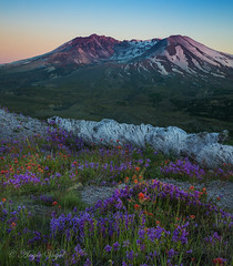 Beauty From Ashes (Angie Vogel Nature Photography) Tags: mtsthelens volcano wildflowers indianpaintbrush barrettespenstemon fallentimber evening summer mountain nature