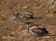 House sparrows-9868. (martinpettinger) Tags: days hot summer water fresh clean sky blue clear sparrows house bathing bank river july canon sigma birds nature wildlife splashing sparkling bright