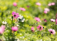 Cosmos (mclcbooks) Tags: flower flowers floral cosmos royalbotanicgardens sydney australia nsw newsouthwales bokeh