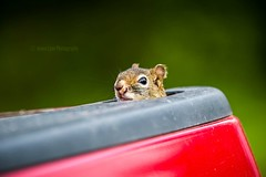 Hitchhiker (Jenna.Lynn.Photography) Tags: squirrel nuts truck furry fuzzy fur animal nature canon canon70200f28lll canon5dmarkiii wisconsin peeking sneaky pet pets
