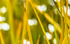 Shades Of Summer (Fourteenfoottiger) Tags: helios44m abstract summer grasses yellow golden defocused blur bokeh lines patterns textures plants nature bright colourful stripy bubbles