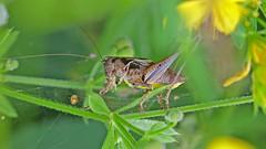 Dark Bush Cricket - Pholidoptera griseoaptera (jaytee27) Tags: darkbushcricket pholidopteragriseoaptera naturethroughthelens
